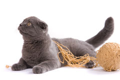 Scottish fold cat Royalty Free Stock Photography