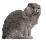 Scottish Fold cat, 11 months old Royalty Free Stock Photos