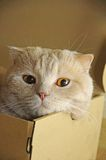 Scottish Fold cat, 11 months old, in front Stock Image