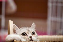 Scottish Fold cat. Looks at somewhere Stock Photos