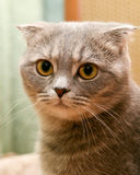 Scottish fold cat Royalty Free Stock Images
