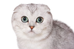 Scottish fold cat. On white Royalty Free Stock Photos