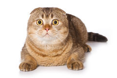 Scottish fold cat. On white Royalty Free Stock Photo