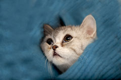 Scottish Fold cat. Looks at somewhere Royalty Free Stock Photography