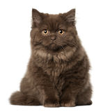 Scottish Fold cat, 18 months old, sitting Royalty Free Stock Photo