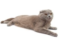 The Scottish-fold cat. On white background Royalty Free Stock Photo