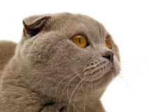 The Scottish-fold cat. On white background Stock Images