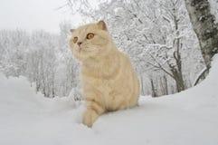 Scottish Fold cat Royalty Free Stock Photos
