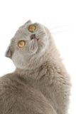 Scottish fold cat. Isolated on white background Royalty Free Stock Images