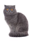 Scottish fold cat Stock Photography