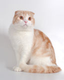 Scottish fold cat. Red-white scottish fold cat sits Stock Images