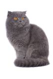 Scottish fold cat Stock Images