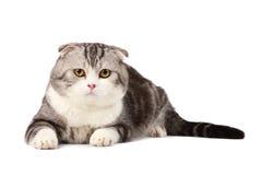 Scottish fold cat. Isolated over white Royalty Free Stock Photo