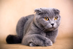 Scottish fold cat. Portrait of a Scottish fold cat on a brown background. Studio shot Royalty Free Stock Image