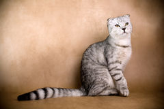 Scottish fold cat. Portrait of a Scottish fold cat on a brown background. Studio shot Stock Photos