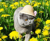 Scottish fold cat animal closeup Stock Images