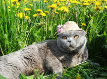 Scottish fold cat animal closeup Royalty Free Stock Photos