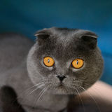 Scottish Fold cat. Animal theme portrait of Scottish Fold cat Royalty Free Stock Photography
