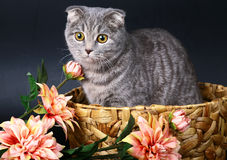 Scottish fold cat in a basket with flowers. Royalty Free Stock Photos