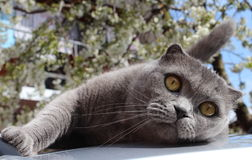 Scottish Fold cat. Beautiful eyes Stock Image