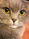 Scottish fold cat with big orange eyes Royalty Free Stock Image