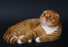 Scottish fold cat on a black background Stock Image