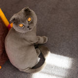 Scottish Fold cat bobbed Stock Photos
