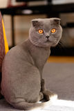 Scottish Fold cat bobbed Stock Image