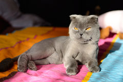 Scottish Fold cat bobbed Stock Photo