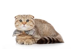 Scottish fold cat Royalty Free Stock Photos