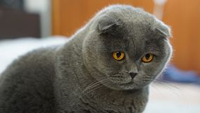 Scottish fold cat 3 stock photo