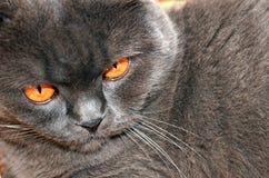 Scottish fold cat. Royalty Free Stock Photo