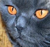 Samurai cat Royalty Free Stock Photo