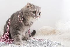Scottish Fold cat breed with Christmas garlands on a fluffy rug. Stock Photography