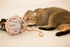 Scottish Fold cat, brown tabby. The cat sniffs the protea flower. Kitten and a flower Royalty Free Stock Image