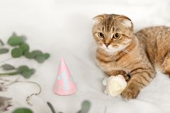 Scottish Fold cat, brown tabby. First birthday of the cat. A kitten in a festive cap Stock Photos