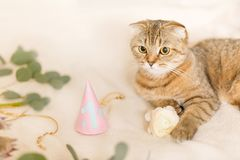 Scottish Fold cat, brown tabby. First birthday of the cat. A kitten in a festive cap Stock Images