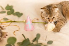 Scottish Fold cat, brown tabby. First birthday of the cat. A kitten in a festive cap Stock Photography