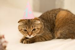 Scottish Fold cat, brown tabby. First birthday of the cat. A kitten in a festive cap Royalty Free Stock Image