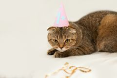 Scottish Fold cat, brown tabby. First birthday of the cat. A kitten in a festive cap Royalty Free Stock Photography