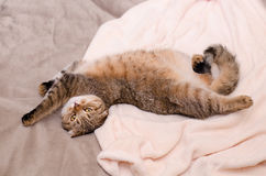 Scottish Fold cat, brown tabby lying belly up on its back. Belly up Stock Images