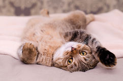 Scottish Fold cat, brown tabby lying belly up on its back. Looking into the camera Stock Image