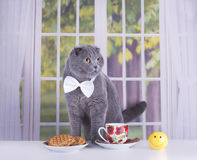 Scottish Fold cat business breakfast in a country house Stock Image