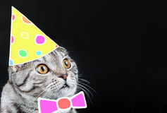 Scottish Fold cat in a Christmas cap and bow Royalty Free Stock Photos