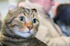 Scottish Fold cat close up portrait Royalty Free Stock Image