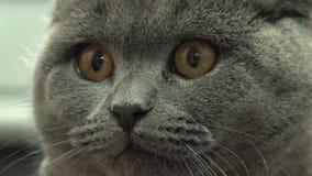 Scottish Fold Cat Closeup. 4k Ultra HD stock video footage