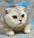 Scottish Fold cat Stock Photography