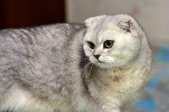 Scottish Fold cat Stock Image