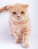 Scottish fold cat crouching straight Stock Images