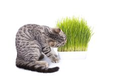Scottish Fold cat eating fresh green grass growing by oats seed, natural herbal treatment for the health of pet isolated on white. Background royalty free stock image